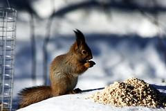 Red Squirrel (PeepeT) Tags: redsquirrel sciurusvulgaris orava