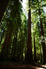 Redwoods (supercell70) Tags: forest forests wood tree trees redwood redwoods nature