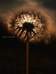 Macro (tahir.121) Tags: macro sunset sunshine summer nature natural light mobilephotograhy golden dandelion