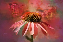 Painted Cone.... (Patlees) Tags: coneflower painted textured dt summer 2018 texturaltuesday