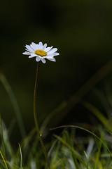 Schatzalp Alpinum (deakb) Tags: nikon d500 switzerland suisse svájc graubünden davos schatzalp nature green blue sky mountain summer alpinum flower macro sigma 70200