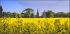 Blue And Yellow Make Green. (Picture post.) Tags: landscape nature green summertime rapeseed flowers church buildings bluesky clouds paysage trees arbre