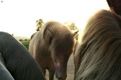 Abendsonne (Demarmels) Tags: stall islandpferd pferd pferdegeschichten abendsonne sonne sonnenschein horse icelandichorse stable