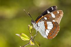 Limenitis reducta (Jaume Bobet) Tags: limenitis reducta lepidoptera nymphalisae mariposa insecto macro bobet canon sigma