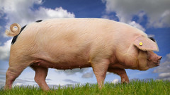 Gilt edged (getty listed) (Alan10eden) Tags: pig sow gilt walk outdoors bluesky pork farm agriculture livestock alanhopps canon 80d sigma 1770mm ulster northernireland snout curlytail trotters
