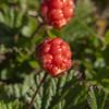 Cloudberries (l4ts) Tags: landscape derbyshire peakdistrict darkpeak bleaklow bleaklowhill bleaklowstones moorland cloudberries closeuplens
