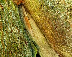 Oak Detail (Velvia 50 5x4) (CactusD) Tags: bark oak linhof technikardan tks45 5x4 4x5 largeformat large format movements film landscape detail details texture textures uk greatbritain great britain unitedkingdom united kingdom england oxfordshire greatcoxwellbarn coxwell barn nikon d800e 85pce 85mmf28pce micro digitized nikkor nikkorm300mmf9 300mm f9 f28 85mm fujifilm fujichrome velvia velvia50