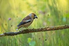 Hawfinch - Appelvink (Roland B43) Tags: hawfinch grosbeccassenoyaux kernbeisser coccothraustescoccothraustes