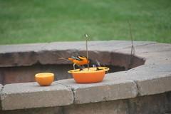 Orioles in the Backyard June 2018 (Saline Michigan) (cseeman) Tags: birds saline michigan orioles feeder oriolefeeder orange orioles062018 jelly orioleslovejelly oranges