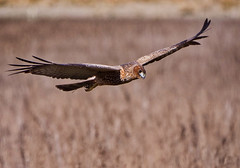 Spotted Harrier (James_Preece) Tags: spottedharrier accipitridae m43 circusassimilis panasoniclumixdcgh5 leicadgvarioelmar100400mmf4063 raptor