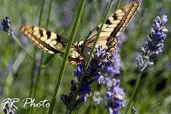 Farfalla (Francoise photographer) Tags: sicignano degli alburni