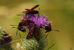 five-spot burnet moths lots  (8) (Simon Dell Photography) Tags: five spot burnet moths lots group gathering thistle wild garden mouse log pile mossy home house cute funny door fairy borrower hobbit sheffield simon dell tog photography s12 uk england old english countryside wildlife nature summer birds animals