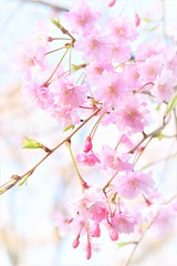 Cherry blossoms (Jeong Kab Cheol) Tags: cherry nature nikon plants pink tree 벚꽃 꽃 식물 나무 桜 さくら 花 木 植物 ニコン macromademoiselle