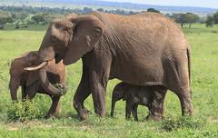 Family Bliss (AnyMotion) Tags: africanelephant afrikanischerelefant loxodontaafricana elephants elefanten family familie threegenerations 2018 anymotion tarangirenationalpark tanzania tansania africa afrika travel reisen animal animals tiere nature natur wildlife 7d2 canoneos7dmarkii landscape landschaft