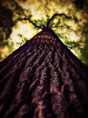 Tall, Dark and Handsome (Captain Creepy) Tags: tree bark canopy leaves sunlight closeup park