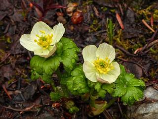 Wildflowers at Peyto Lake