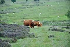 32369 (benbobjr) Tags: england english uk unitedkingdom gb greatbritain britain british northyorkshire yorkshire ryedale northridingofyorkshire northyorkmoors nationalpark moor moors