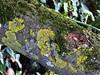 Lichen on a Tree Trunk (Normann) Tags: tree lichen