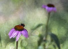 In An English Country Garden (Fourteenfoottiger) Tags: sunshine pastel hot summer bokeh bee insect flowers garden nature meyergorlitztrioplan28100mm trioplan28100mm bubblebokeh bubbles textures patterns