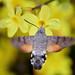 Языкан обыкновенный, Macroglossum stellatarum, Hummingbird hawk-moth
