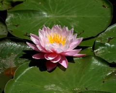 Water Lily 3 (Emily K P) Tags: bristolrenaissancefaire flower lily waterlily pink petals green lilypads leaves pattern