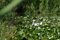 1489-05L (Lozarithm) Tags: caenhill devizes wilts swans k5 pentax sigma zoom 70300 sigmaaf70300mmf456apodgmacro