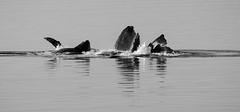 Bubble Net Feeding (Steve Corey) Tags: wiki humpbackwhales bubblenetfeeding mammals alaska whales ocean herring groupwork herd