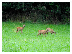 3 in 1 (Vulpe Photographie) Tags: capreolus deer roedeer chevreuil fawn faon animal france nature wildlife wildlifephoto wildlifephotography coolpix nikon p900 eure