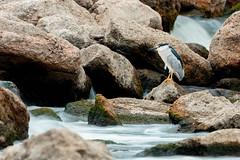 Black-crowned Night-Heron (zeroskilz) Tags: bird nature wildlife mike timmons indiana heron