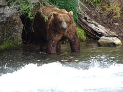 DSC07582 (jrucker94) Tags: alaska katmai katmainationalpark nationalpark bear bears grizzly grizzlybear brooksriver nature outdoors