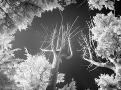 _5310479 (Hyperfocalist) Tags: canada infra red trees vancouver island pacific coast forest trail foliage woods up tall high