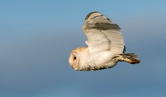 Barn owl in flight (ftm599) Tags: nikon200500 nikond500 nikon naturephotography wildlifephotography actionphotography hunter hunting nature wildlife wild sky flight flying action birdofprey bif birds bird owls owl barnowl