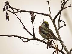 Chestnut-sided Warbler (poecile05) Tags: chestnutsidedwarbler setophagapensylvanica sointula malcolmisland mountwaddingtonregionaldistrict bird rarebird kavelaroad