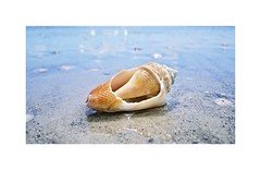 Sea Shell (BlueisCoool) Tags: flickr foto photo image capture picture photography sony cybershot dscw330 beach sea ocean water nature outdoors pretty beautiful florida seashell sandkeyparkflorida clearwaterflorida