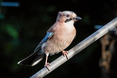 Eurasian Jay (_John Hikins) Tags: jay eurasian sigma nikon nikkor nature animal bird birds garden wildlife 150600mm 150600c 150600 contemporary bokeh