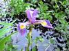 blue flag iris (Bruces 51) Tags: blue flag iris wildflower lake huron wetland oscoda michigan