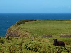 P6214151 (darrenburnham) Tags: northern ireland neardunlucecastle countyantrim cows