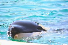 Moana (Tmfhermans) Tags: marineland antibes orca killer whale zwaardwalvis orque