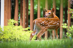 I Wanna Hug Em And Squeeze Em And Call Em George (curious_spider) Tags: babydeer deer whitetail fawn spots spotted