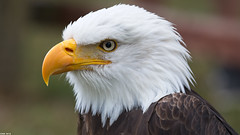 The Bald eagle. Anholt wildpark. Germany. (wk4ever) Tags: eagle baldeagle anholt on1 germany wildpark