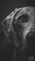178/365 - Colin's Eye (Forty-9) Tags: photoaday 2018 efs1785mmf456isusm forty9 3652018 365 blackandwhite dog tomoskay 27thjune2018 bw yongnuo lightroom canon yongnuospeedliteyn565exii efslens eye eos60d project3652018 colin 178365 wednesday dogphotography june project365 flash 27062018 day178 weimaraner