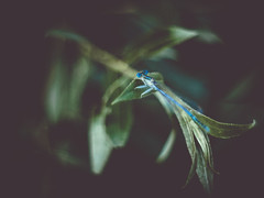 H i d d e n (davYd&s4rah) Tags: dragonfly libelle macro dof bokeh pentacon 18 olympus em10markii manual focus depth field bluetail damselfly hemiphlebioidea makro blue green depthoffield nature crazyeyes manualfocus handheld pentacon50mmf18 vintagelens