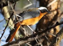 KEN0810 (lorstierlen) Tags: kenya wildlife birds nature amboseli lorelei masai mara diani nairobi