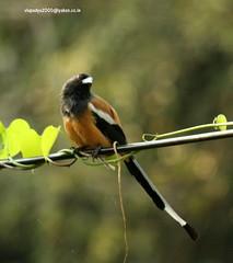 IMG_6403 Rufous Treepie (Dendrocitta vagabunda) (vlupadya) Tags: greatnature animal aves fauna indianbirds rufous treepie dendrocitta kundaoura karnataka