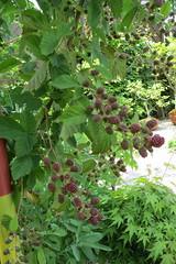 IMG_1854 (Singemaus) Tags: brombeeren tomaten birnen kirschen