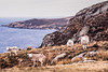 Curious Sheep. Highlands, Scotland. (natures-pencil) Tags: sheep humour scotland drought sea sky barren rocks landscape coast rugged film ektachrome 50mm hills aerialperspective