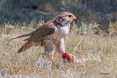 IMG_8688 prairie falcon (starc283) Tags: falcon raptor hawk bird birding nature wildlife starc283 naturesfinest naturewatcher flicker flickr