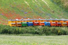 Il tesoro dei Sibillini (raffaella.rinaldi) Tags: honey bees nature flower fields italy castelluccio norcia umbria houses colorful life hive