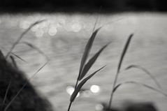 Impression (Stefano Rugolo) Tags: stefanorugolo pentax k5 pentaxk5 smcpentaxm50mmf17 ricohimaging vintagelens manualfocuslens manual manualfocus pentaxprime bokeh reeds water sea abstract monochrome blackandwhite depthoffield blur ripples impression