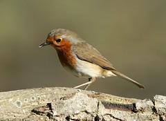 Erithacus rubecula, le rouge gorge, the robin. (chug14) Tags: unlimitedphotos animalia aves passeriformes saxicolidae robin rougegorge motacillarubecula erithacusrubecula